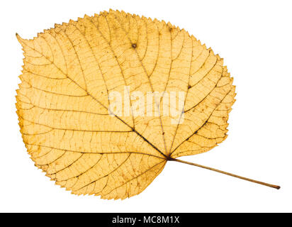 back side of yellow autumn leaf of linden tree isolated on white background - Stock Photo