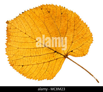 back side of dried autumn leaf of linden tree isolated on white background - Stock Photo