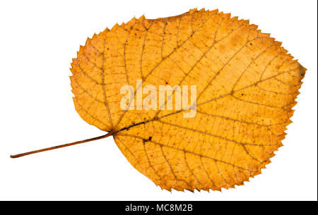 back side of fallen autumn leaf of linden tree isolated on white background - Stock Photo