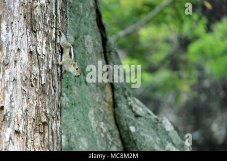 Gray-Brownish Grizzled Giant Squirrel on a tree in Sigiriya, Sri Lanka - Stock Photo
