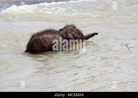 Cute Baby Elephant at the Pinnawala Elephant Orphanage in Sri Lanka - Stock Photo