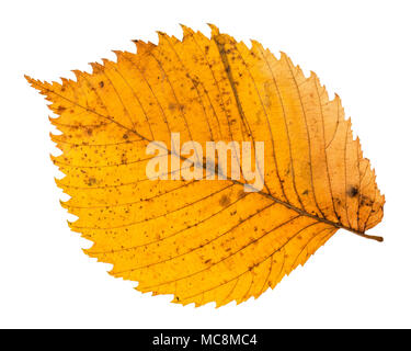 back side of yellow fallen leaf of elm tree isolated on white background - Stock Photo