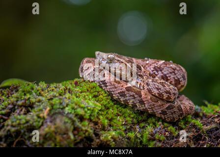 the dangerous venomous snake common lancehead fer de lance sci stock photo 48577350 alamy. Black Bedroom Furniture Sets. Home Design Ideas