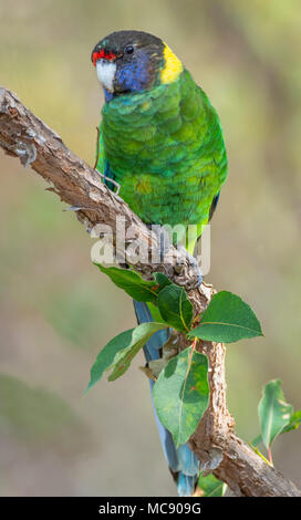 An Australian Ringneck of the western race, known as the Twenty-eight Parrot, photographed in a forest of SW Australia. - Stock Photo