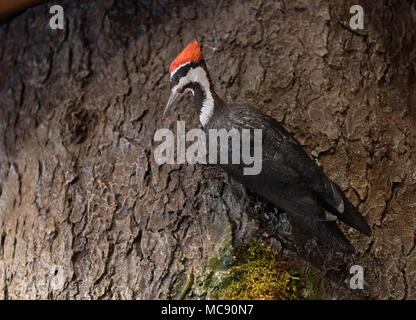 Lifelike model of Pileated Woodpecker perched on tree in nature exhibit at Mount Greylock Visitor Center in Lanesboro, MA. - Stock Photo