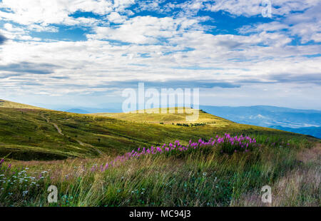 fire-weed among the grass on hill in late summer. beautiful mountainous landscape on a cloudy day - Stock Photo