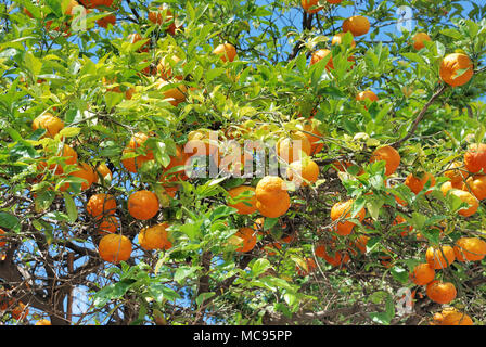 Oranges growing on tree in Morocco. - Stock Photo