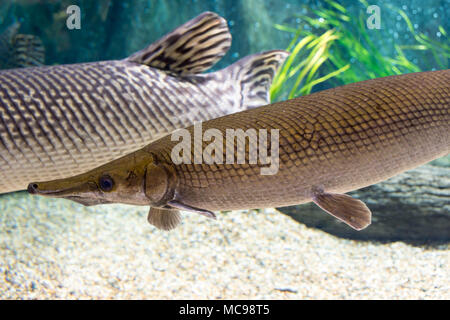 Arapaima gigas, also known as pirarucu, is a species of arapaima native to the basin of the Amazon River. Once believed to be the sole species in the  - Stock Photo