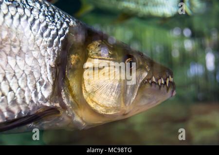 Tiger fish focusing on head showing its big teeth. Being displayed in Singapore Sea Aquarium - Stock Photo