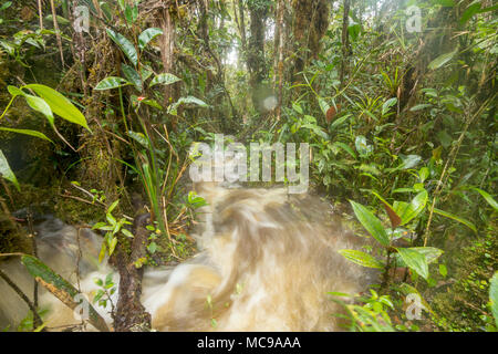 Floodwater pouring through the rainforest. A stream has burst its banks and water is running over the forest floor in Cordillera del Condor, Ecuador - Stock Photo