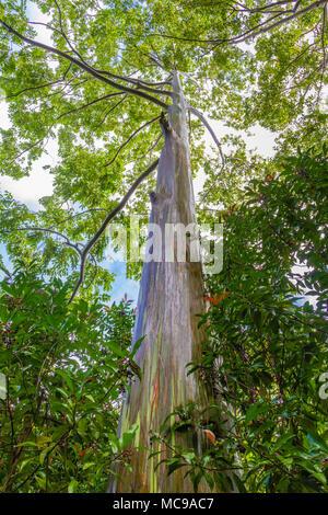 Rainbow Eucalyptus tree, Eucalyptus deglupta, on the Road to Hana on the island of Maui in Hawaii. - Stock Photo