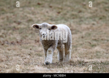 A white woolly lamb walking in a field in Springtime - Stock Photo