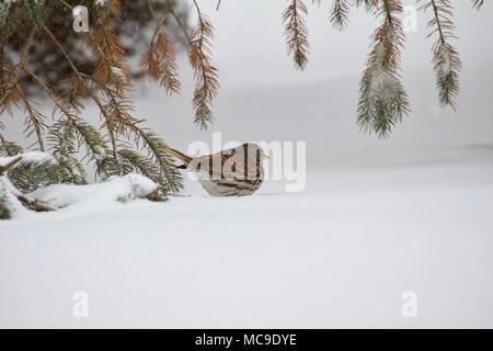 Solitary fox sparrow bird on white snow covered ground under spruce tree branches in a blizzard - Stock Photo