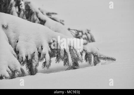 This image shows the lower branches of a mature spruce tree covered in heavy snow during a cold winter blizzard. - Stock Photo