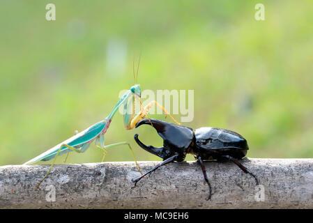 green praying mantis with  rhinoceros beetles. - Stock Photo
