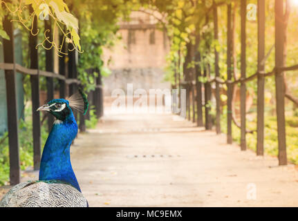 Portrait of a beautiful peacock in nature park, photo of wild animals. Peacock with a beautiful blossomed tail. - Stock Photo