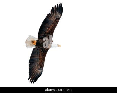 Beautiful mature Bald Eagle in flight on white background - Stock Photo