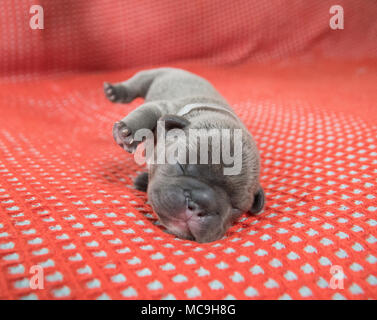 Cute French bulldog puppy sleeping on site with it's legs in the air - Stock Photo