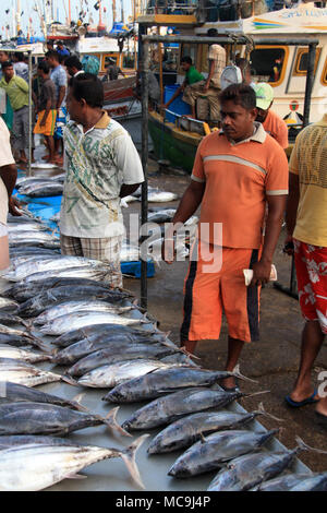 Early morning in the port of Mirissa, Sri Lanka: Fishermen are off-loading their trawlers with the catch of the day - Skipjack Tuna and Manta Rays - Stock Photo