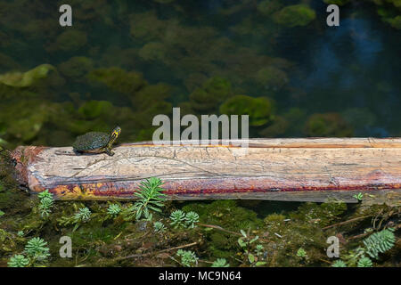 small painted turtle sitting on a log basking in the sun at veterans park callaway florida - Stock Photo