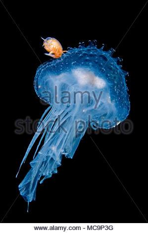 Hyperid amphipod (Hyperia sp.) on a Blue lionmane jellyfish (Cyanea lamarckii), Hordaland, Norway - Stock Photo