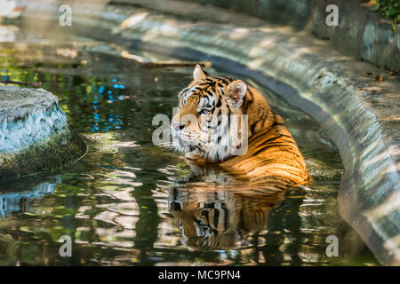 Bengal tigers are immersed in water. - Stock Photo