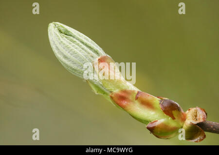 The new leaves emerging from the bud of a Horse Chestnut or Conker Tree (Aesculus hippocastanum) in springtime in the UK. - Stock Photo