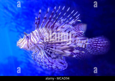 Colorful lionfish with venomous spines in the blue sea. Pterois Volitans species living in Indo-Pacific ocean, Caribbean Sea, East Coast of the USA. Venomous coral reef fish of Scorpaenidae family. - Stock Photo
