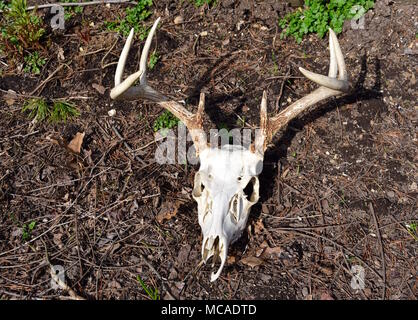 Whitetail deer skull and eight point antlers on a forest floor. - Stock Photo