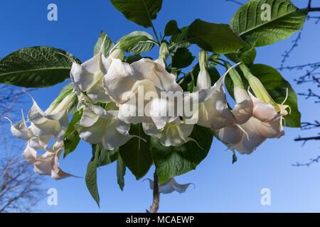 Angels' trumpet, Liten änglatrumpet (Brugmansia arborea) - Stock Photo