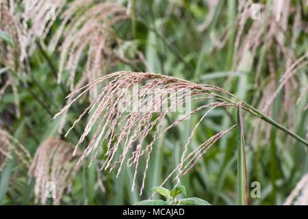 Miscanthus sinensis. - Stock Photo