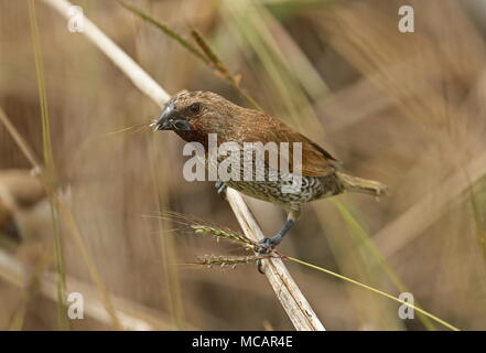 Scaly-breasted Munia (Lonchura punctulata topela) adult perched on grass stems eating seeds  Kenting Peninsula, Taiwan                   April - Stock Photo