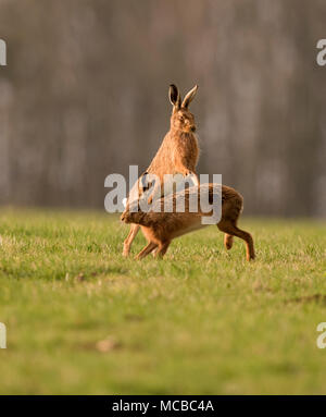 Pair of Brown Hares (Lepus europaeus) boxing in the evening sun in Gloucestershire - Stock Photo