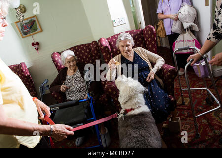 elderly lady in residential care home feeing visiting therapy dog - Stock Photo