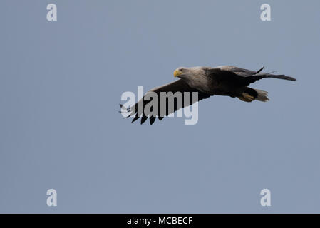 White tailed eagle in flight scanning the sea for fish. - Stock Photo