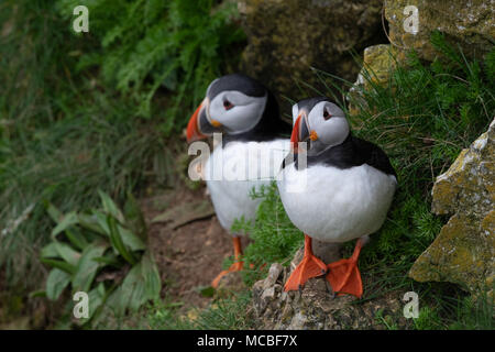 Puffins perched on a rocky ledge - Stock Photo