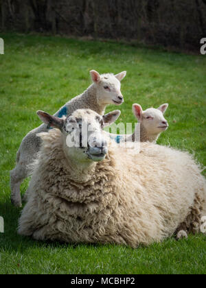 Sheep with two lambs in field - Stock Photo