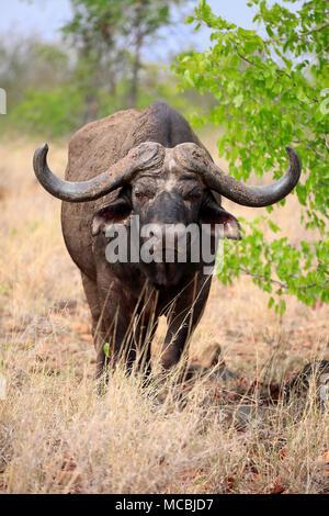 Cape buffalo (Syncerus caffer), adult, alert, Sabi Sand Game Reserve, Kruger National Park, South Africa - Stock Photo