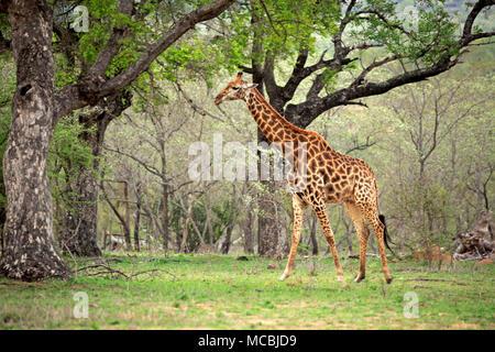 Southern giraffe (Giraffa camelopardalis giraffa), adult, runs between trees, Kruger National Park, South Africa - Stock Photo