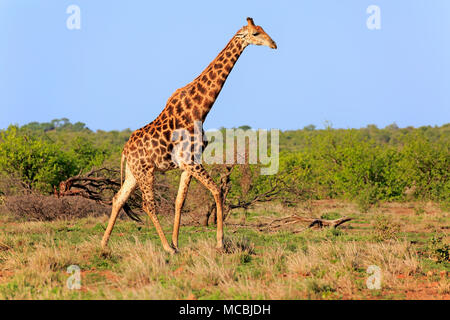 Southern giraffe (Giraffa camelopardalis giraffa), adult, runs in Bushland, Kruger National Park, South Africa - Stock Photo