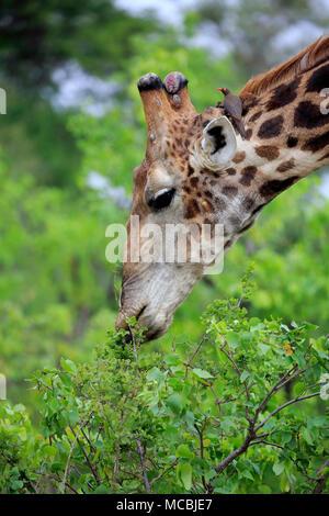 Southern giraffe (Giraffa camelopardalis giraffa), adult, eating, animal portrait, feeding, Kruger National Park, South Africa - Stock Photo