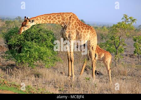 Southern giraffes (Giraffa camelopardalis giraffa), mother animal suckles young animal during feeding, Kruger National Park - Stock Photo