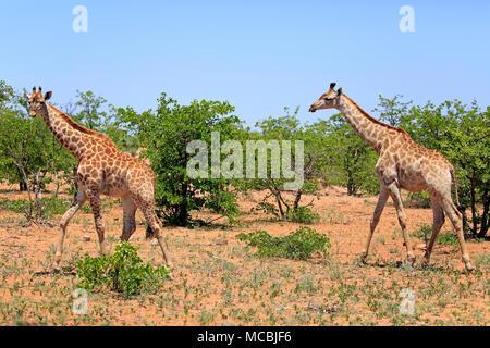 Southern giraffes (Giraffa camelopardalis giraffa), adult, walking through bushland, Kruger National Park, South Africa - Stock Photo
