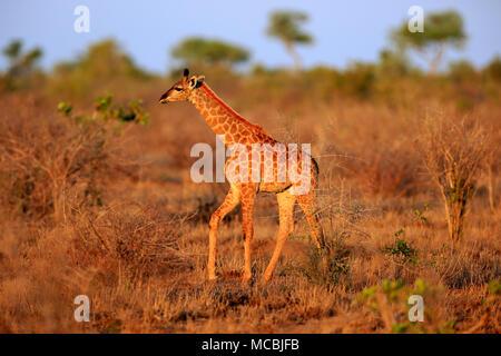 Southern giraffe (Giraffa camelopardalis giraffa), young animal, walking, dry bushland, Kruger National Park, South Africa - Stock Photo
