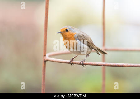 Robin Erithacus rubecula  perched on metal plant support in UK garden - Stock Photo