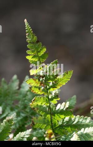 Bracken (Pteridium aquilinum) - Stock Photo