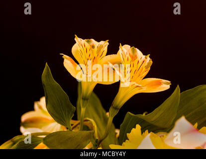 Closeup of yellow Alstroemerias flowers commonly know as Peruvian Lilies or Lily of the Incas against a black background - Stock Photo