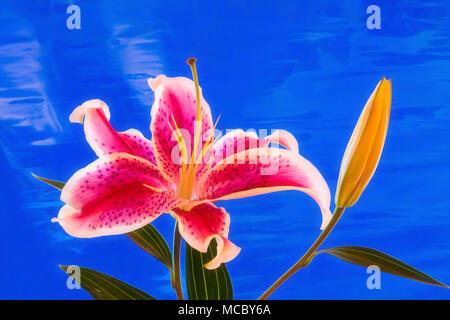 Close up of single red and white Stargazer Lily against a blue background - Stock Photo