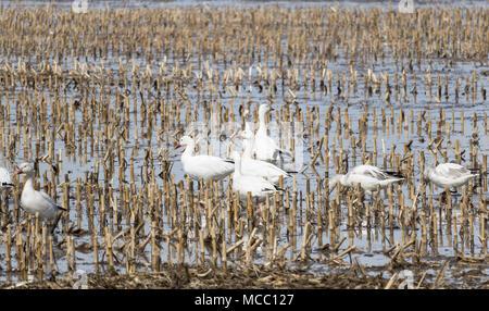 Migration Oie Blanche, Snow Goose, Baie-du-Febvre, Québec Canada - Stock Photo