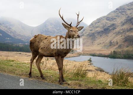 Red Deer Stag at the roadside in Glen Etive, Scotland - Stock Photo